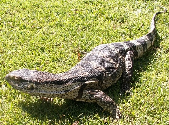 Rocky - African Rock Monitor